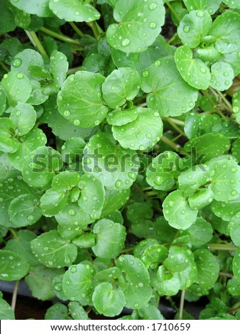 The watercress is a perennial aquatic plant cultivated for human consumption. - stock photo