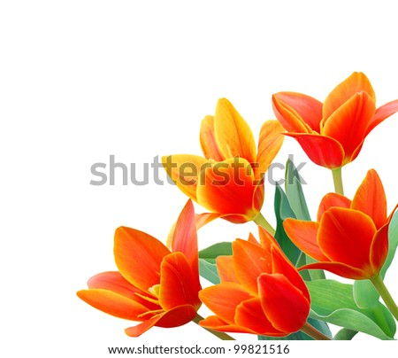 the waterlily tulip flowers in spring