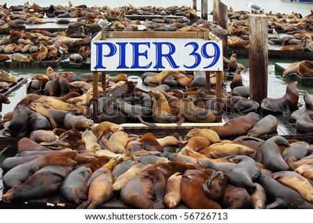 The well-known Pier 39 in San Francisco with sea lions. Animals are heated on wooden platforms - stock photo