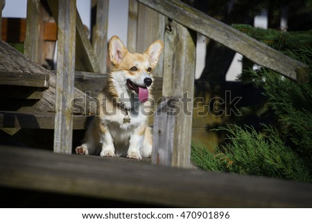the Welsh Corgi Pembroke sits on a wooden ladder