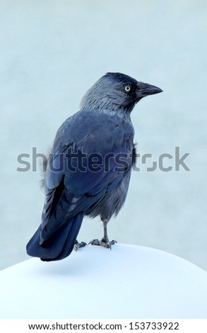 The Western Jackdaw bird (Corvus Monedula)