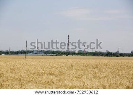 the wheat ripens on the field