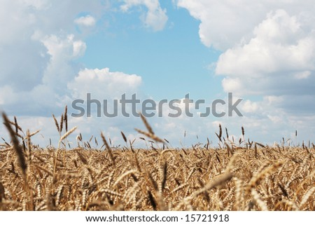 The wheaten field is ready to harvesting
