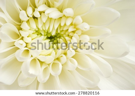 The white chrysanthemum flower, closeup, macro - stock photo