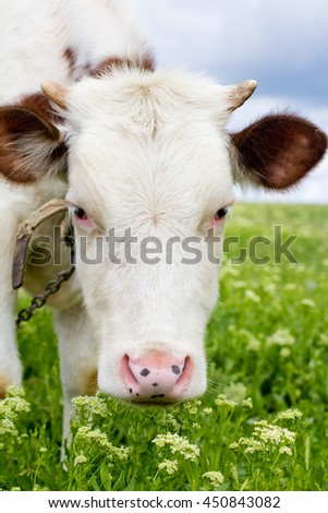 The white cow on the green meadow, close up shot
