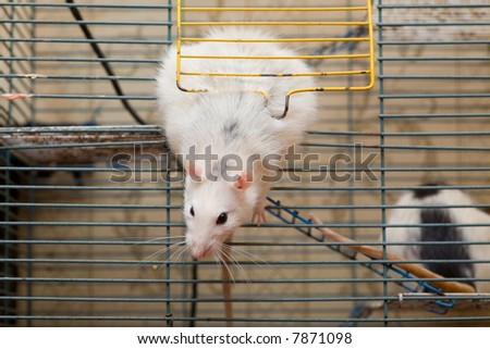 The white domestic rat escaping from a cage