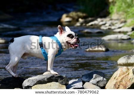 The Rock French Bulldog