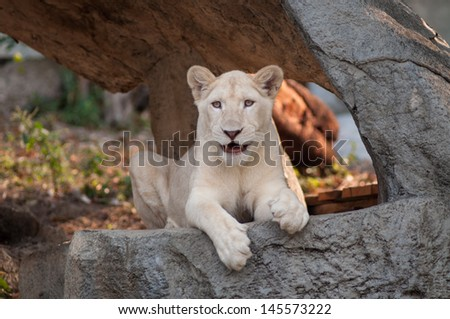 The white lion Panthera leo krugeri is occasionally found in wildlife reserves in South Africa.