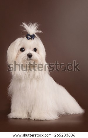 The white little dog of breed the Maltese sits on a brown background.