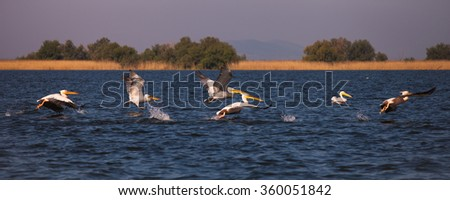 The white pelican in Danube Delta Pelicans are a genus of large water birds that makes up the family Pelecanidae. They are characterised by a long beak and a large throat pouch used for catching prey. - stock photo