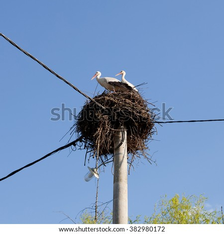 The White Storks (Ciconia ciconia) on the nest