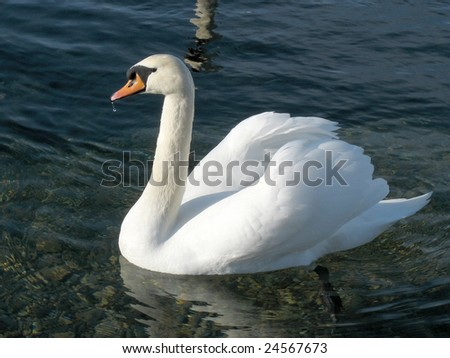 The White Swan in the wild