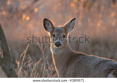 The white-tailed deers grows a heavier coat during the winter. Photographed during sunrise. - stock photo