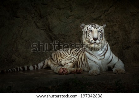 The white Tiger. - stock photo