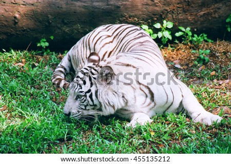 The white tiger is a pigmentation variant of the Bengal tiger, which is reported in the wild from time to time in the Indian states of Assam, West Bengal and Bihar in the Sunderbans region. - stock photo