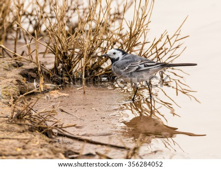 The white wagtail (Motacilla alba) is a small passerine bird in the wagtail family Motacillidae. Photographed in their natural environment, in Daimiel. Spain.