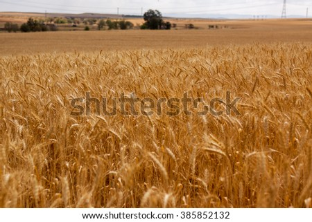 The wide field of ripe wheat - stock photo