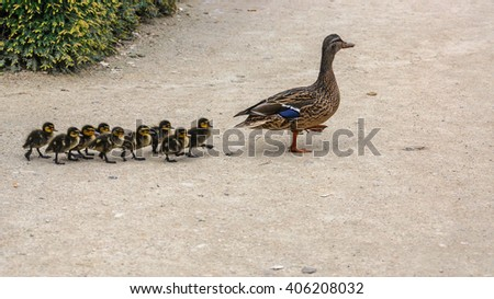 The wild goose (in focus) is marching with his nine fluffy little ducklings on the sidewalk of a Park in Brussels, Belgium - stock photo