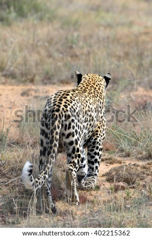 The wild leopard walks away in the savannah with his backside towards us, Namibia, Waterberg region, Africa - stock photo