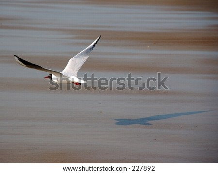The wildlife bird reserve in the city of Knokke in belgium. A seagull in flight. - stock photo
