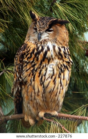 The wildlife bird reserve in the city of Knokke in belgium. An eagle-owl resting. - stock photo