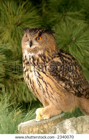 The wildlife bird reserve in the city of Knokke in belgium. An eagle owl with prey. - stock photo