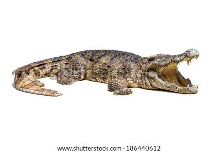 The wildlife crocodile isolated on white background - stock photo