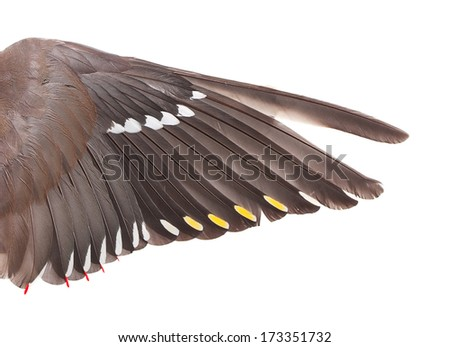 The wing of the Bohemian Waxwing (Bombycilla garrulus) isolated on white. - stock photo