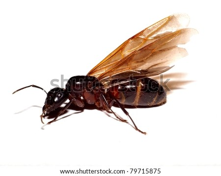 The winged ant - stock photo