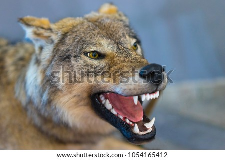 wolf grins his teeth mouth wolf stock photo royalty free