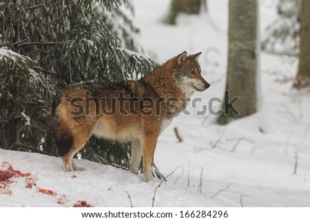 The wolf guarding prey - stock photo