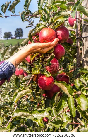 The woman in the orchard during harvest apples. - stock photo