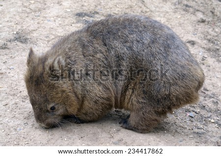 the wombat is seeking out food along the ground - stock photo