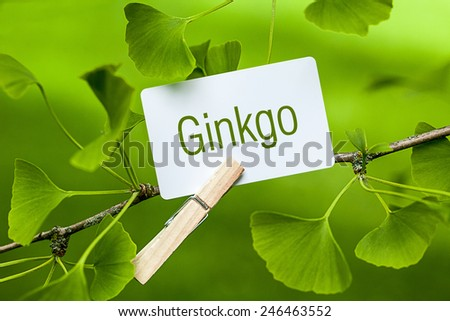 The Word Ginkgo in a Ginkgo Tree - stock photo