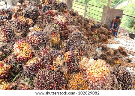 The worker drags the fruit of oil palm. - stock photo