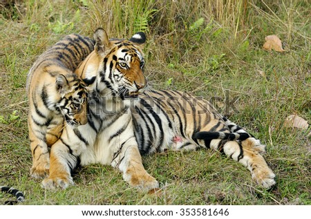 The wounded tigress becomes angry about the annoying kid. India. Bandhavgarh National Park. Tigress with a kitten on a grass.  - stock photo