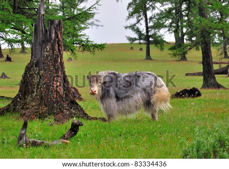 The yak, Bos grunniens or Bos mutus, is a long-haired bovine found throughout the Himalayan region of south Central Asia, the Tibetan Plateau and as far north as Mongolia and Russia - stock photo
