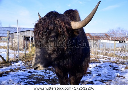 The yak is a long-haired bovid found throughout the Himalayan region of south Central Asia, the Tibetan Plateau and as far north as Mongolia and Russia.  - stock photo