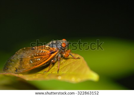 The 17 year cicada is a smaller species, but lacks nothing when it comes to sound!  - stock photo