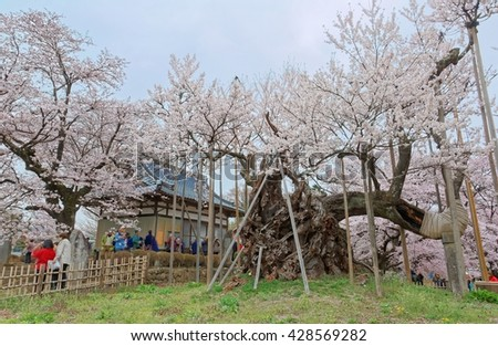 The 2000 year old giant Jindai Sakura tree supported by wooden posts in the garden of Jissouji Temple in Hokuto, Yamanashi Japan ~ Spring scenery of amazing Japanese cherry blossoms