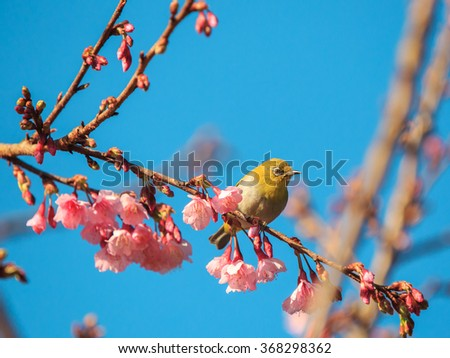 The yellow bird (oriental white-eye) on the pink cherry blossom