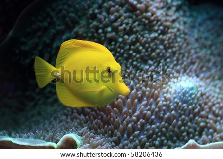 The yellow fish floats in the aquarium