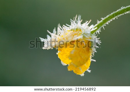 the yellow flower of a buttercup is covered with hoarfrost - stock photo
