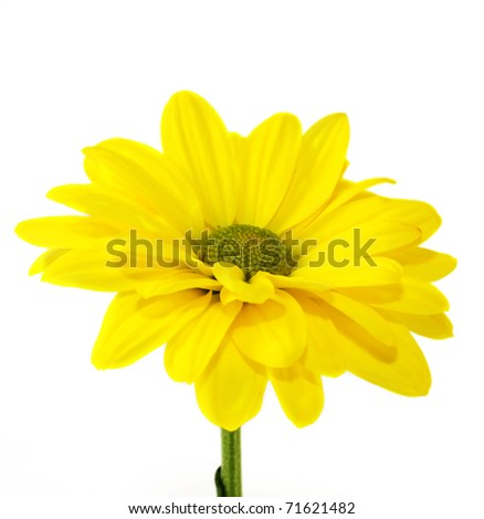 The yellow flower on a white background, is isolated. - stock photo