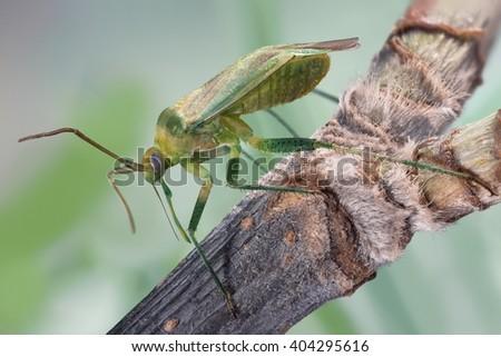 The yellow - green a bedbug (Lygocoris pabulinus) - stock photo