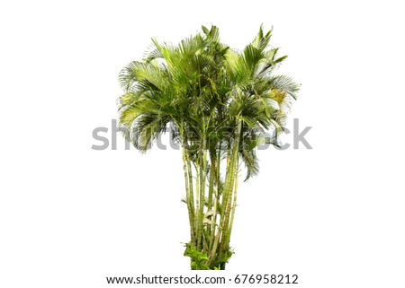 The yellow palm trees
