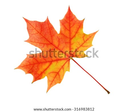 The yellow-red maple leaf isolated on a white background. - stock photo