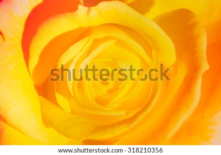 The yellow rose blur and soft background