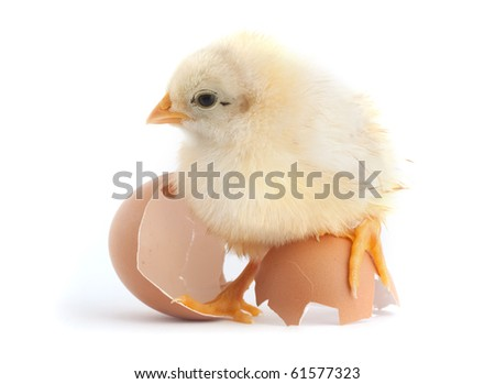 The yellow small chick with egg isolated on a white background - stock photo