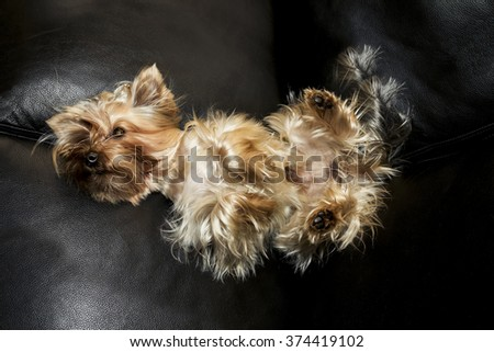 The Yorkshire Terrier is on a leather sofa - stock photo